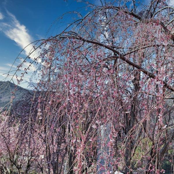 ―しだれ桜🌸―