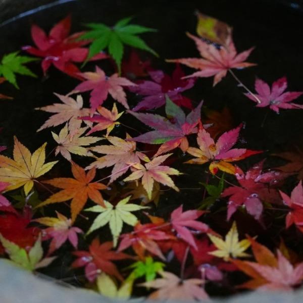 手水鉢✨:旧古河庭園の紅葉2020冬支度