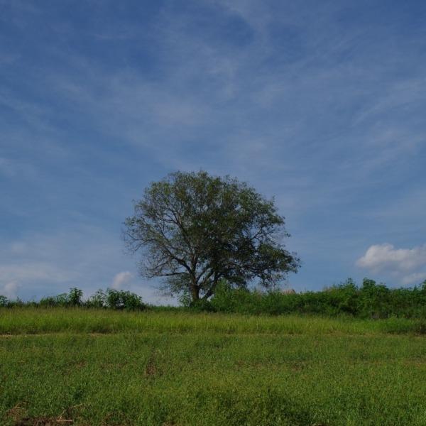 「御牧ヶ原台地の一本胡桃」