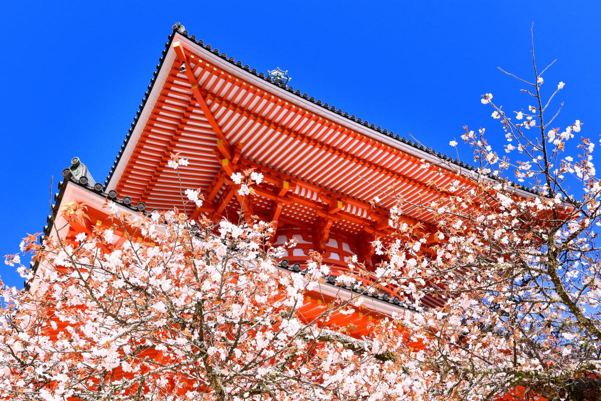 高野山の遅咲き西行桜