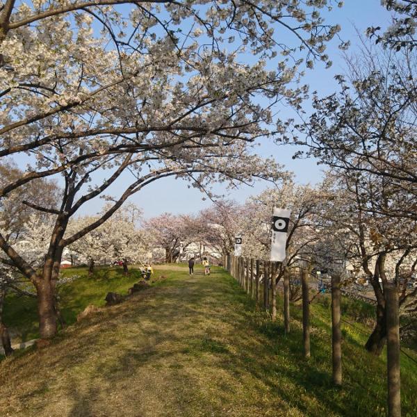 去年の桜🌸