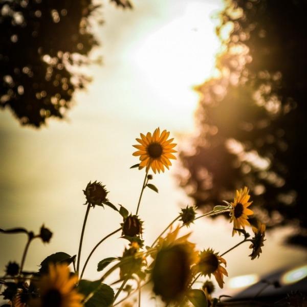 斜陽の向日葵