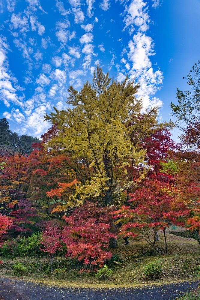 大井平公園の銀杏