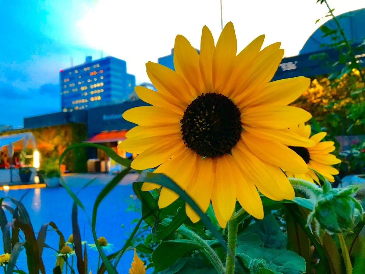 空中庭園に咲く向日葵