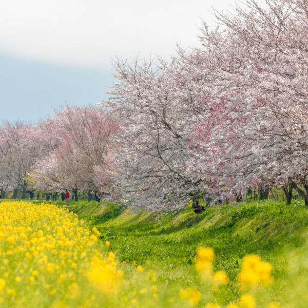 埼玉県幸手市権現堂公園の桜堤