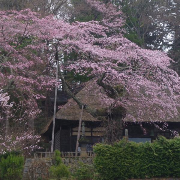 「高森観音堂のしだれ桜」