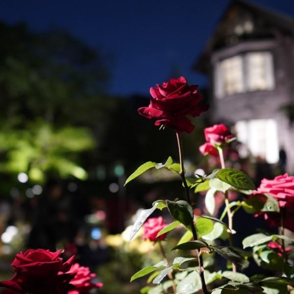 コンラッド・ヘンケル2019:旧古河庭園春バラ🌹