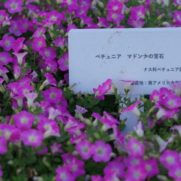 ペチュニア・マドンナの宝石💎:2020大花壇💖