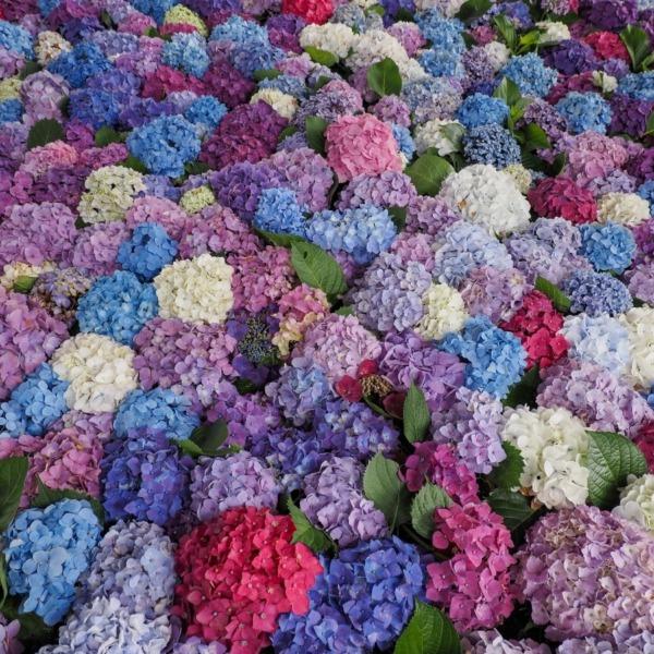 太宰府天満宮紫陽花祭り