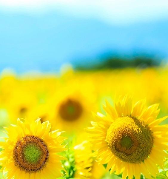 向日葵の笑顔