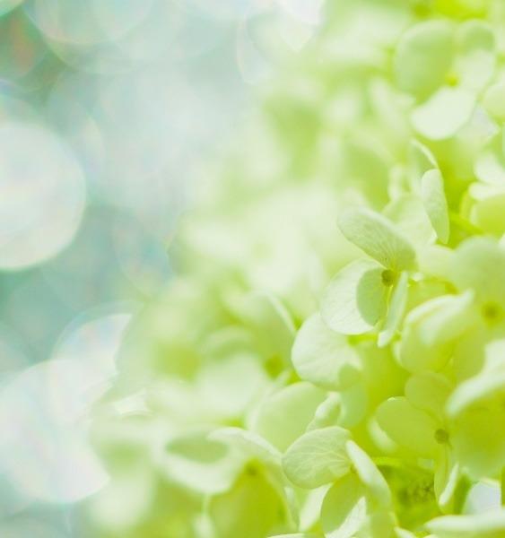 紫陽花ウエディング