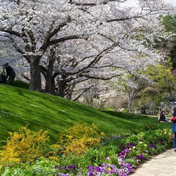 浜松フラワーパークの桜 15