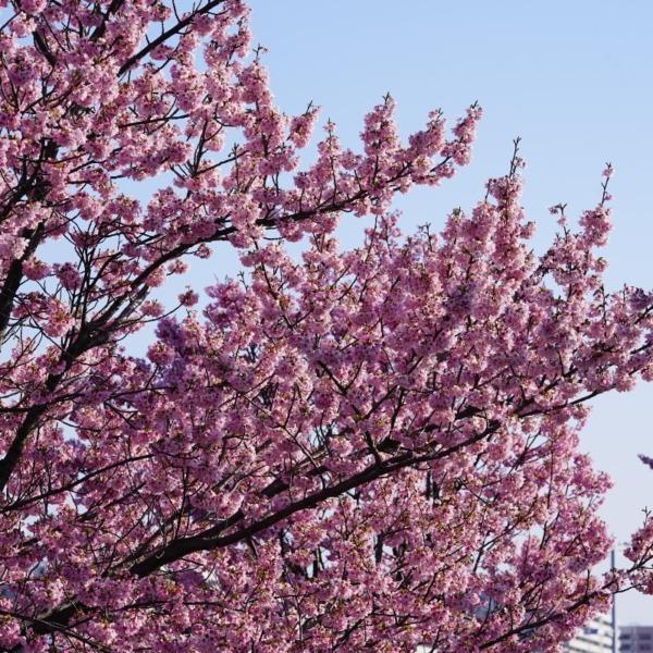 東京スカイツリー/汐入公園の桜に萌える✨