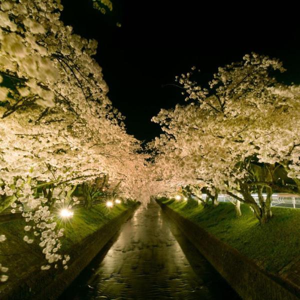 五条川の桜ライトアップ