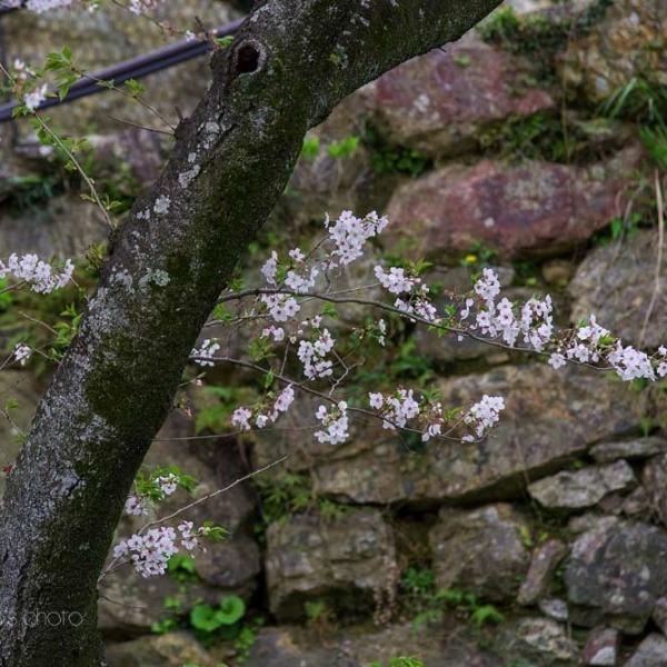 浜松城の桜 8