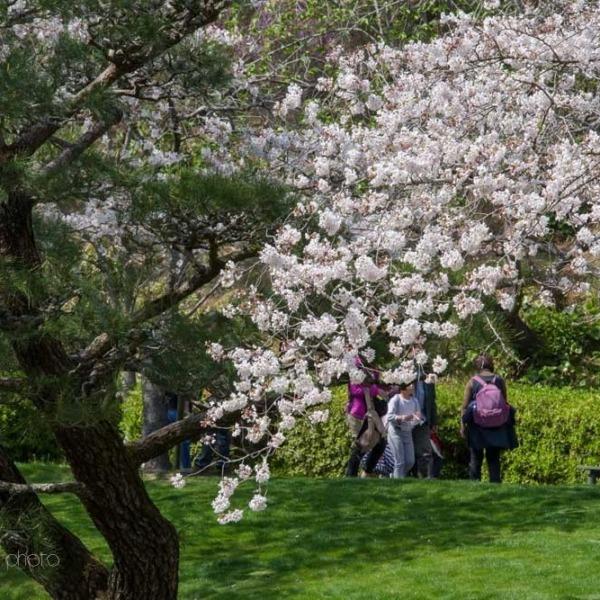 浜松フラワーパークの桜 22