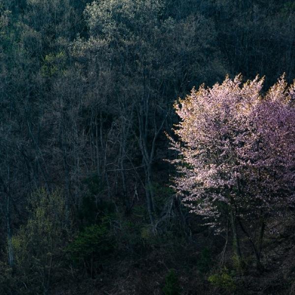 山桜 一人咲
