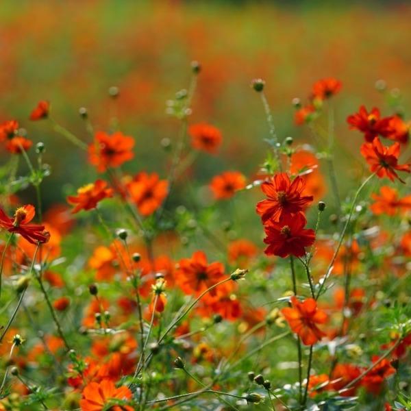 浜離宮庭園お花畑2020💖:オレンジ色の絨毯🍊