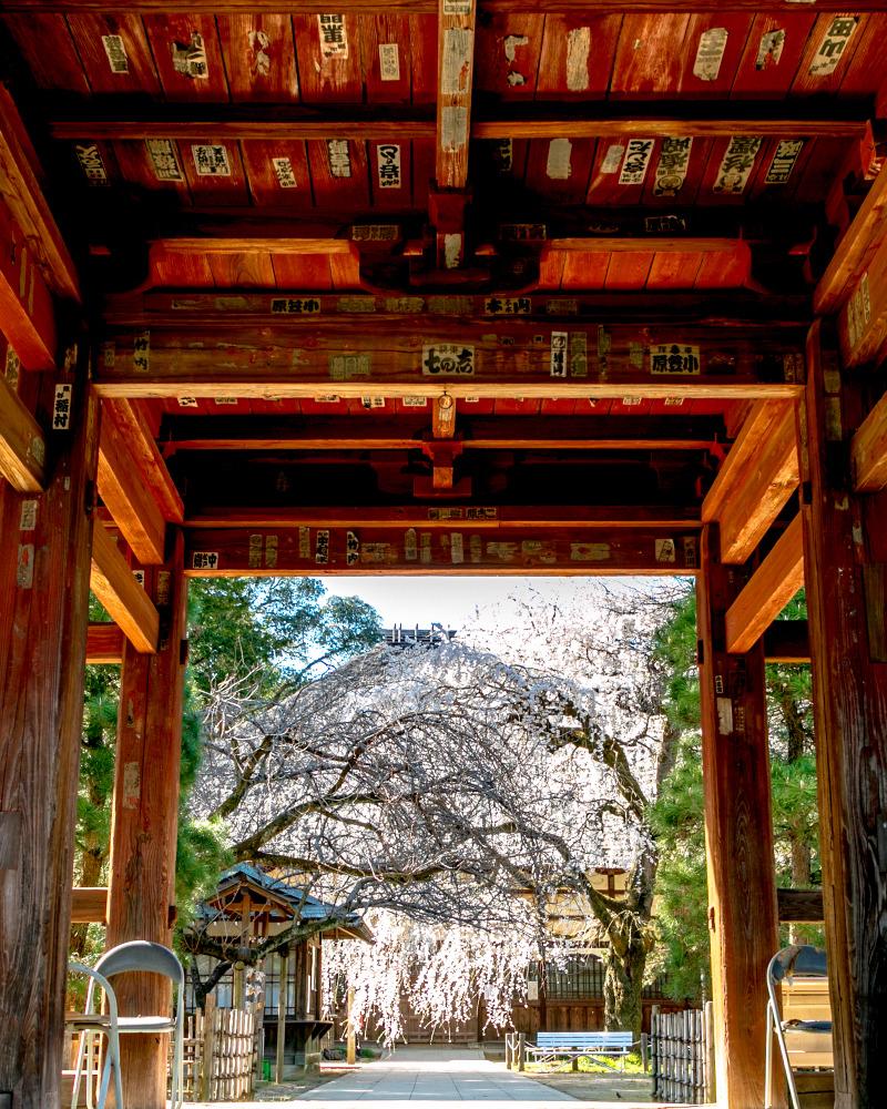 館林 茂林寺の枝垂れ桜