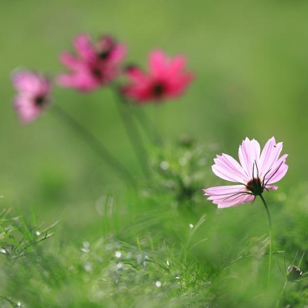 上堰潟公園 コスモス咲きはじめ
