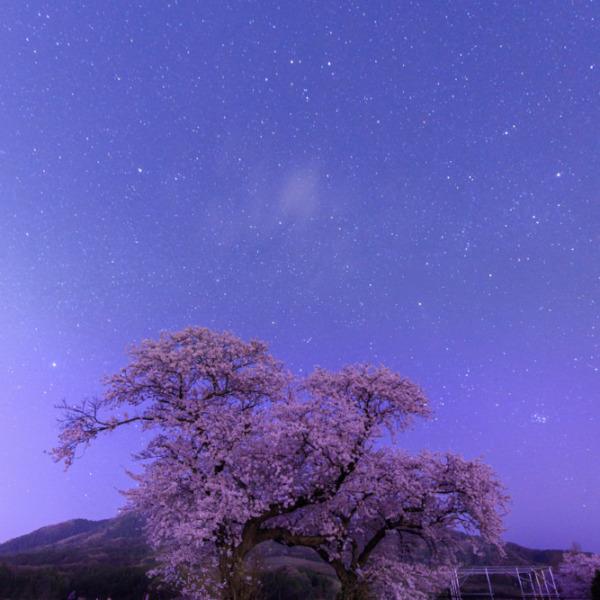 布目の夜桜