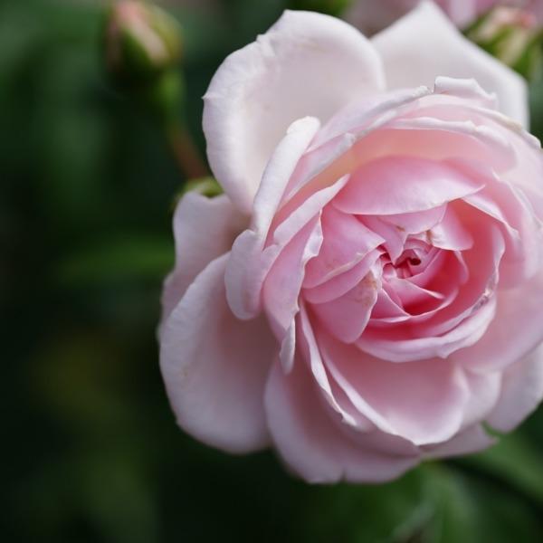 シンデレラ🌹旧古河庭園春バラ2019:人気投票3位✨