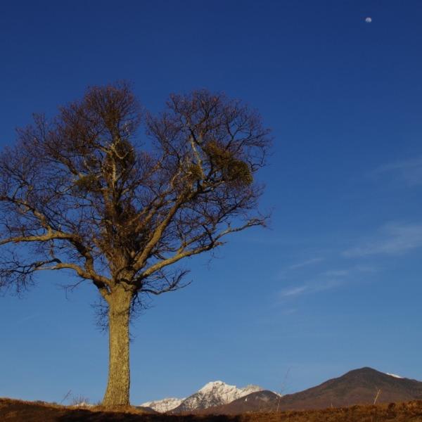 「独立樹と八ヶ岳連峰」