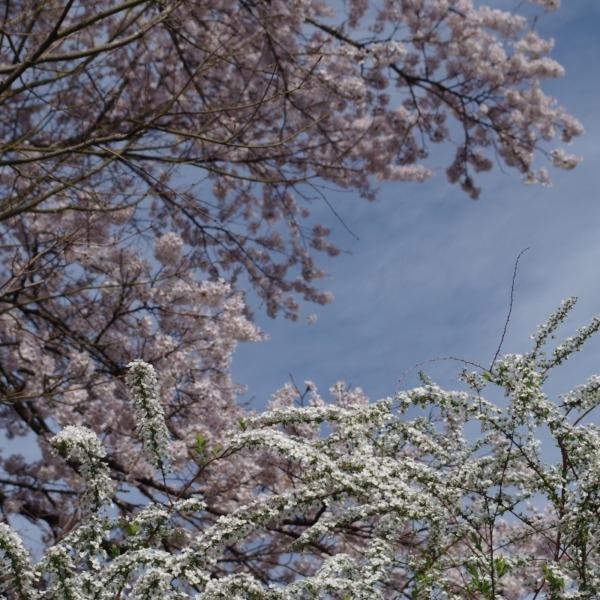 「ユキヤナギと桜」