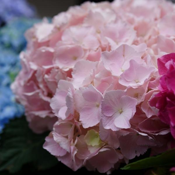 紫陽花2019彩/白山祭り:もっと魅たい?💖