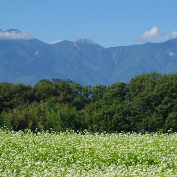 「蕎麦の花と南アルプス」