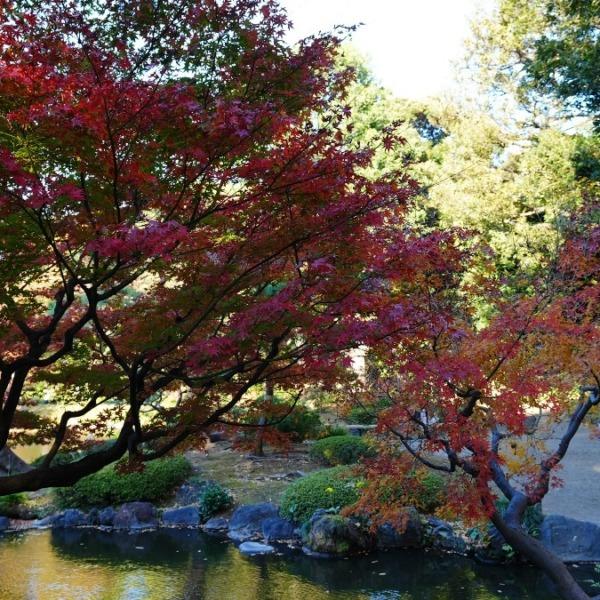 旧古河庭園の紅葉2020彩✨