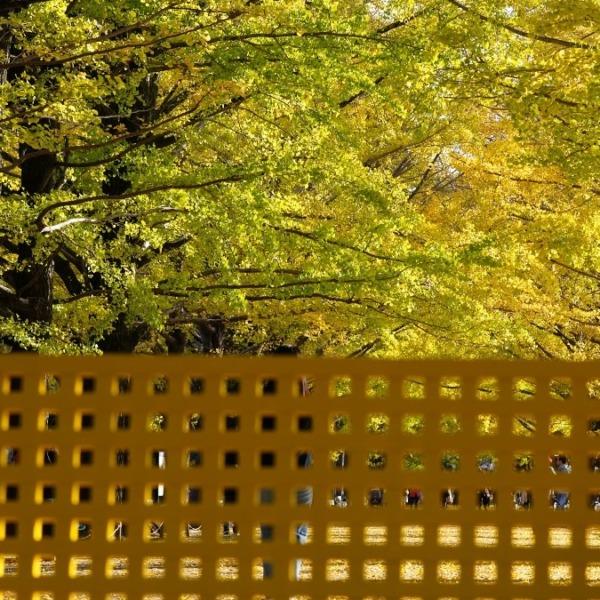 昭和記念公園:かたらいのイチョウ並木✨黄葉