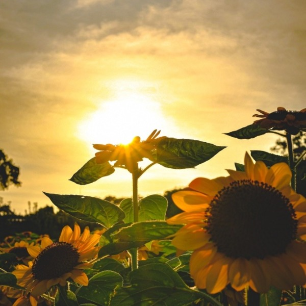 Sun on the sunflower