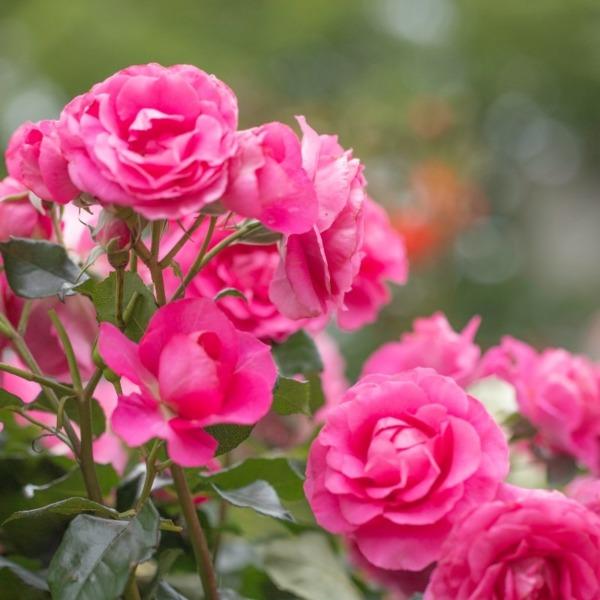 優雅な薔薇