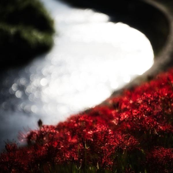 矢勝川の彼岸花 9