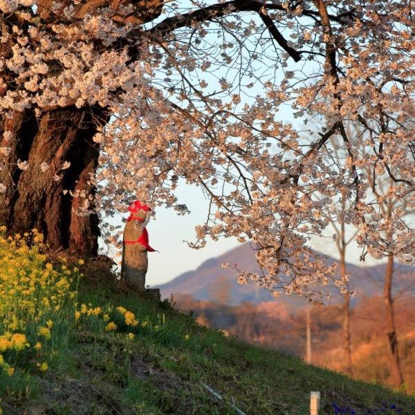 夕暮れに人待ち地蔵桜