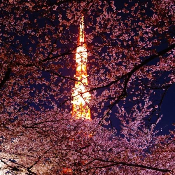 桜乱舞🌸彩/東京タワーコラボ2019:(芝公園)✨
