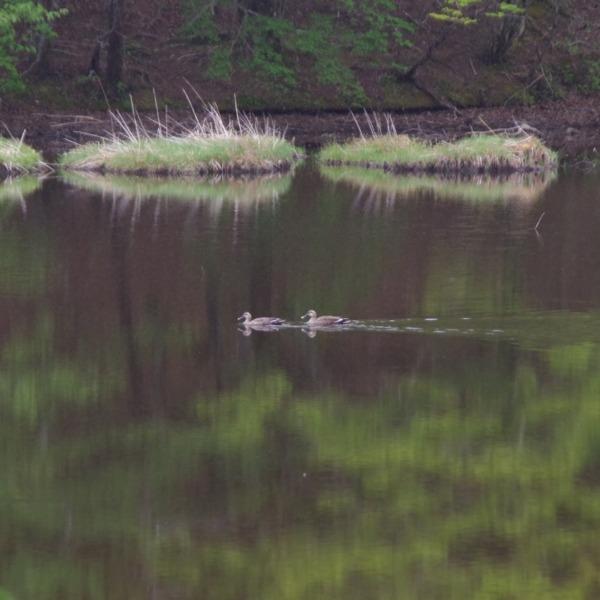 「椹池の鴨」