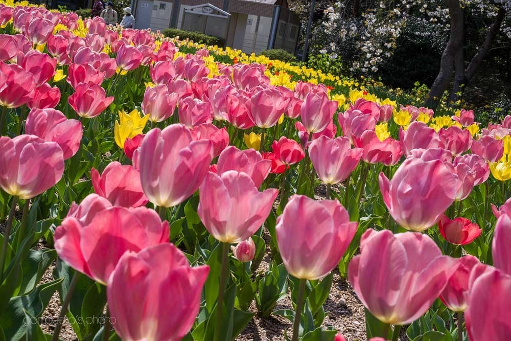 浜松フラワーパークの桜 6