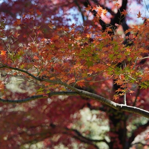 旧古河庭園の紅葉2020彩✨晩秋の漂い