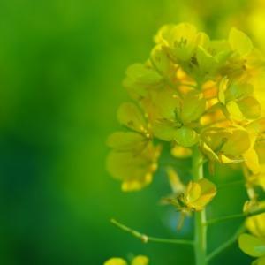 菜の花2021✨温かい陽ざしを浴びて世界を明るく