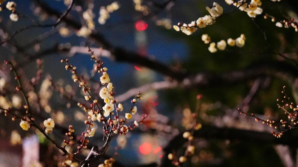 銀世界の梅2021彩💖/咲き始め_東京タワーコラボ💖