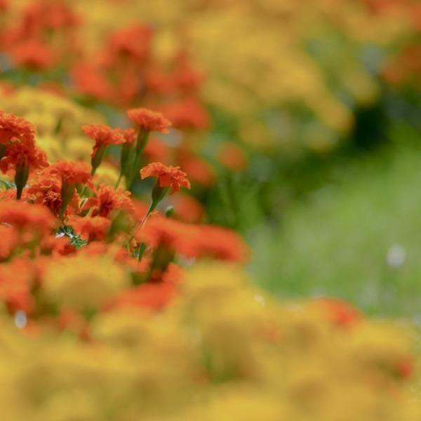 『Orbital marigold』