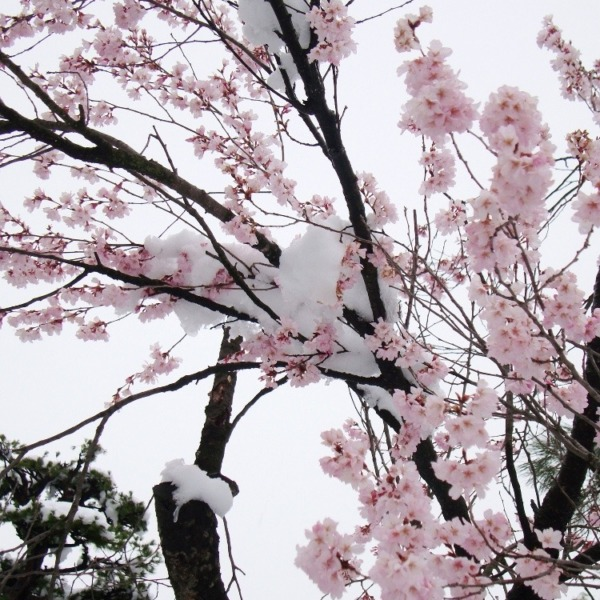3月末の桜