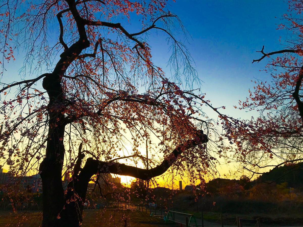 桜が描く影絵