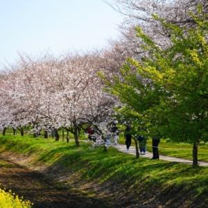 権現堂公園の春2021💖菜の花・桜コラボ