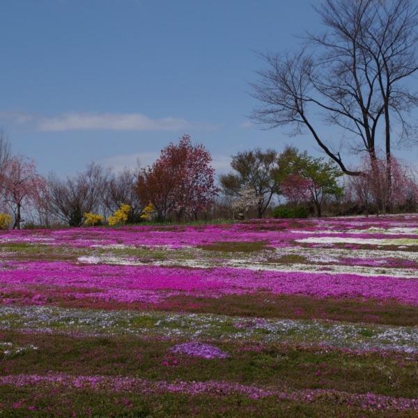 「芝桜の絨毯」
