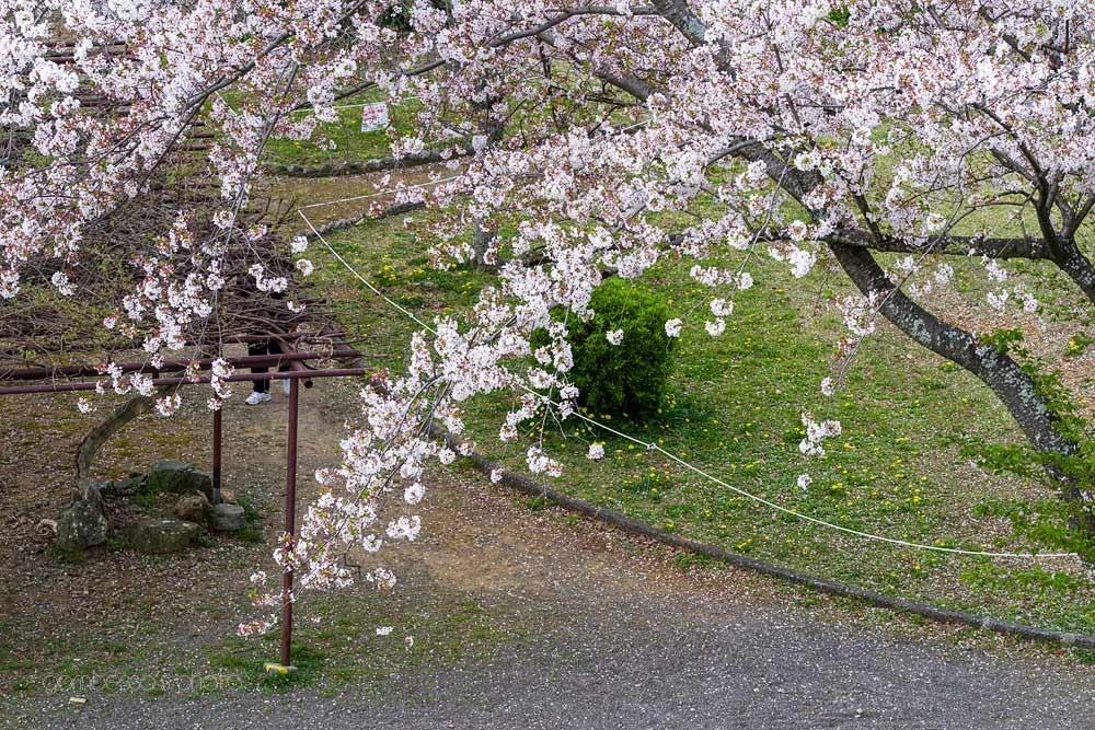 浜松城の桜 6