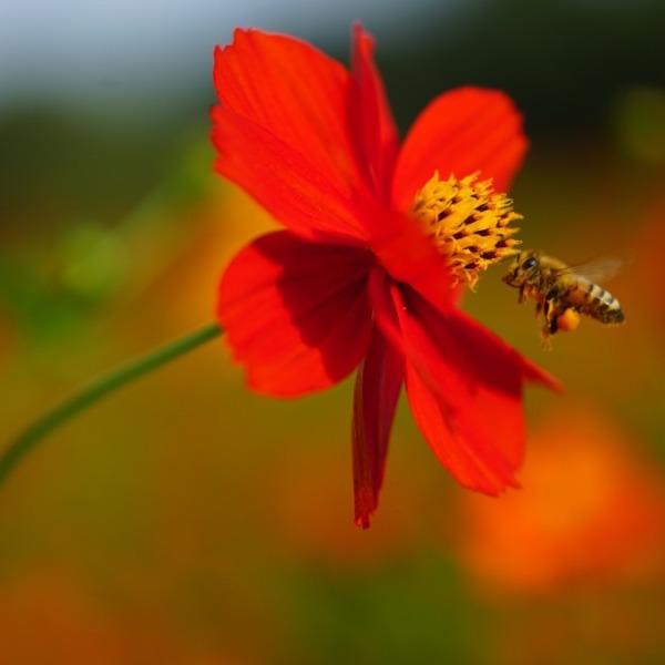 浜離宮2020コスモス彩💖見頃蜜蜂コラボ✨
