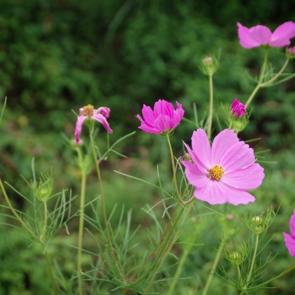 「コスモスの花」